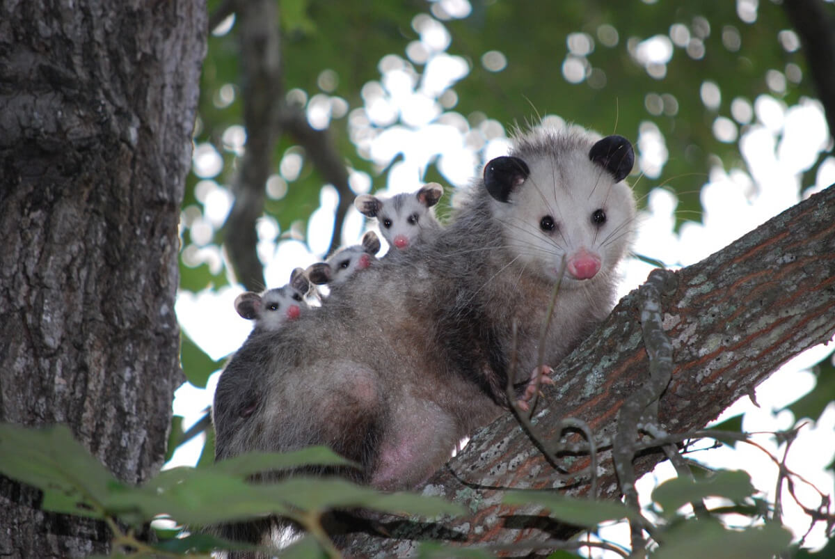 Possum Gain